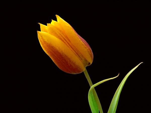 tulipan, zwolniony - 621408