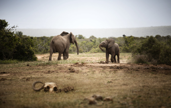 afryka poludniowa wschodnia przyladek addo elephant