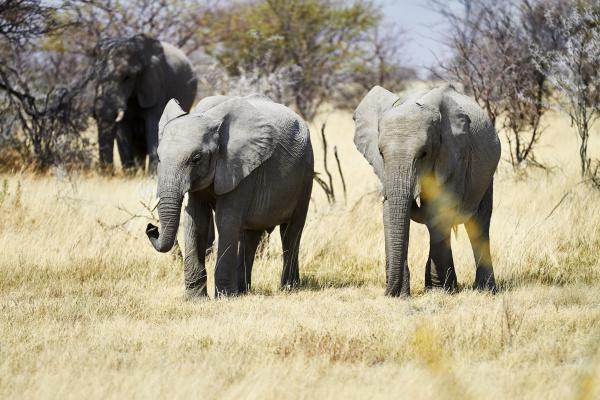 afryka namibia park narodowy etosha slonie