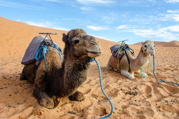 dromadaria, sahary, maroko - 28216575
