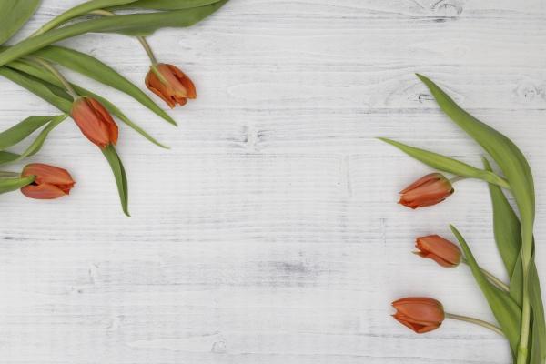 pomaranczowe tulipany na bialym tle