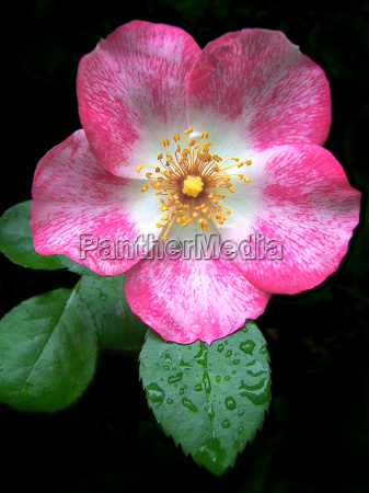 kwiat kwiatek zawod roslina roza delikatny