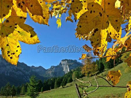 drzewo jesienny bayern bawaria klon oberbajern
