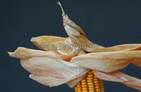 gospodarstwo rolnictwo kukurydza cukrowa zakrecony kolba