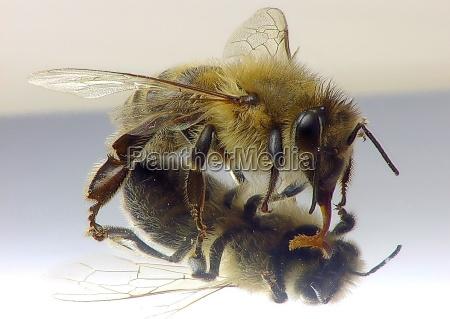 pszczola w lustrze