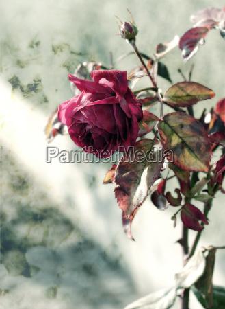 zima roza