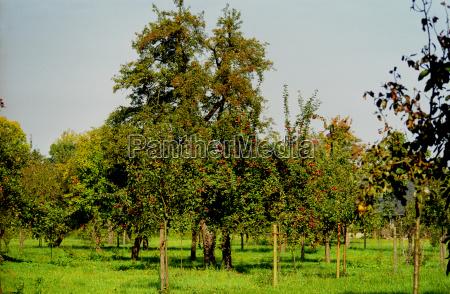 ochrona odmian starych jablek