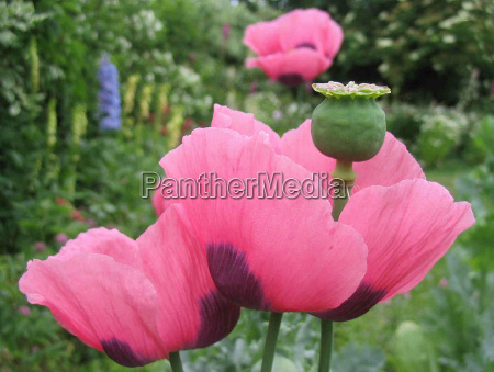 ogrod ogrodek kwiat platki mak roslina