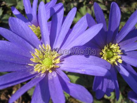 niebieski wiosna krynica sasanka gewaechs cebula
