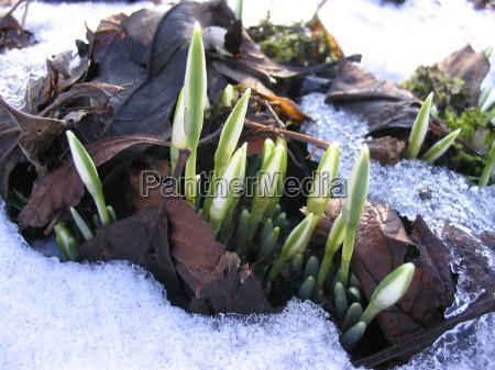 wiosna krynica paczek kwiat roslina przebisnieg