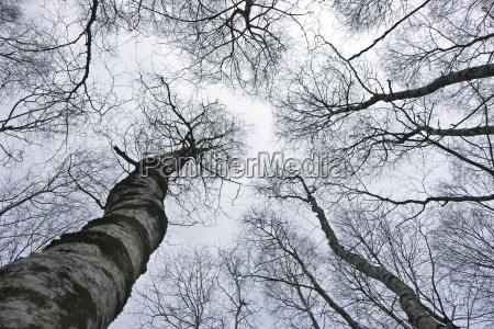 drzewo drzewa brzoza aste oddzial szerokokatny