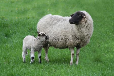 zielony owiec owca wiosna krynica pokoj