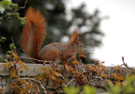 ogrod ogrodek plot ssaki orzechy wiewiorka