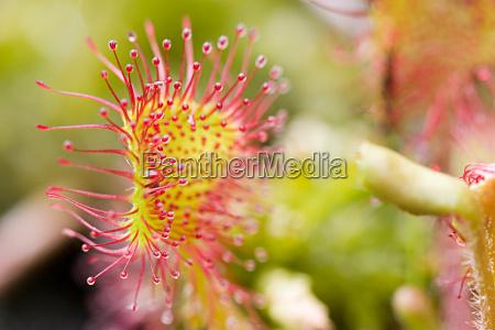 leaf przez drosera rotundifolia 6