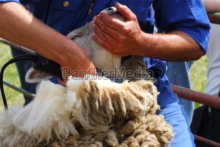 gospodarstwo rolnictwo owiec owca welna strzyzenia