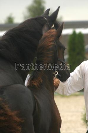 przedstawiac kon konie czerwonawy ogier male