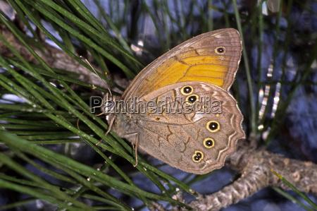 motyl sosna samiec motyl