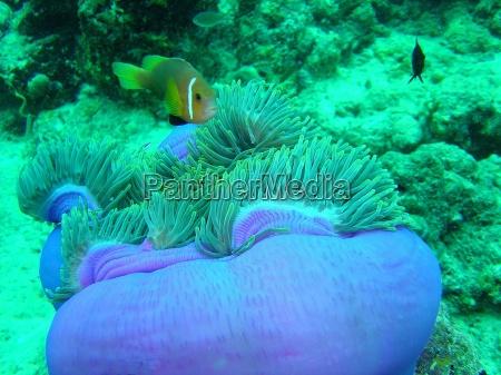 malediwy clownfish