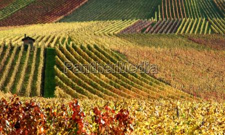 jesienna winnica