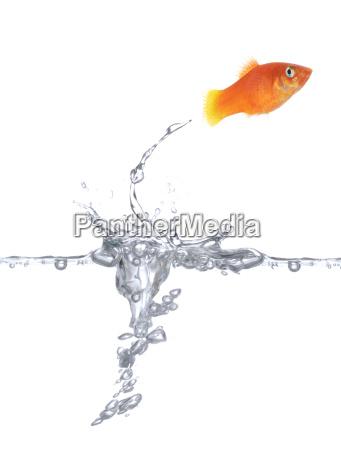 szczesliwa zlota rybka