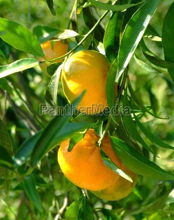 pomarancza pomarancz pomarancze witamina drzewo zielony