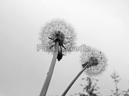 sadzenie sadzic sw dmuchawiec asteraceae szypulka