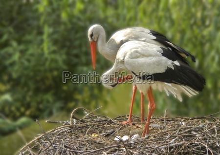 bocian gniazdo bociany jajo jajko idylla