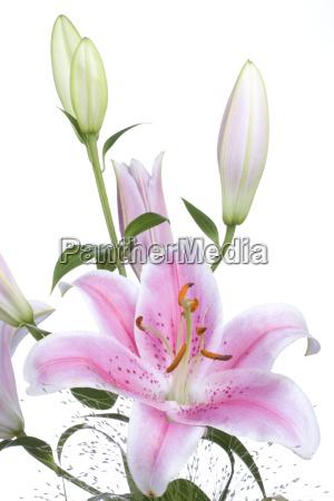 szczegolowo lilii