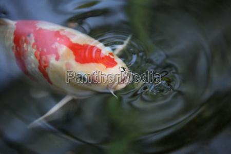 ryba fale suesswasser staw tumpel weiher