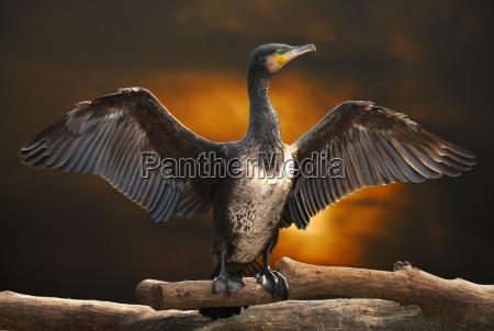 trunk wschod slonca kormoran