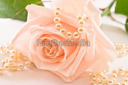 kwiat kwiatek zawod roslina roza perly