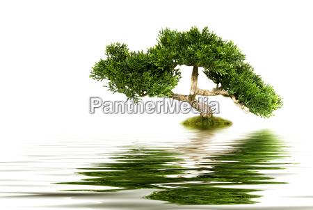 bonsai drzewa odzwierciedlajac w wodzie