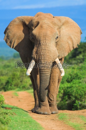 slon portret