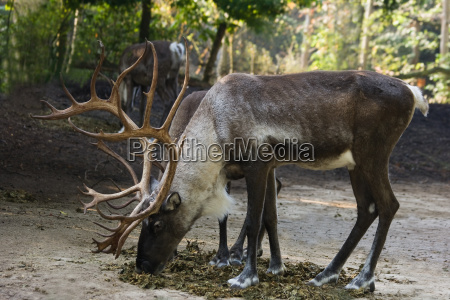 finski renifery lesnictwa