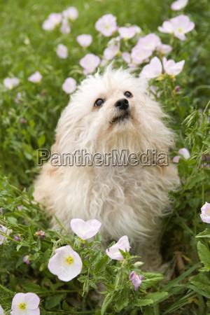 fluffy small dog in flower field