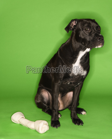 dog with big rawhide bone
