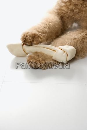 goldendoodle dog paws holding bone