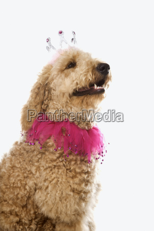 goldendoodle dog wearing costume