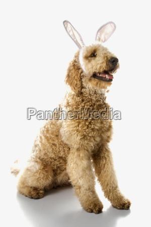 goldendoodle dog in rabbit ears