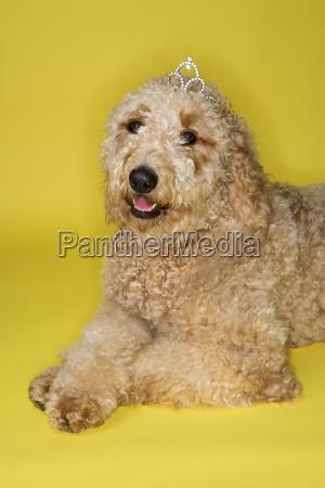 goldendoodle dog wearing tiara
