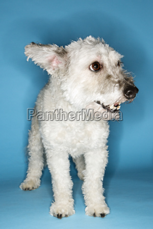 small white dog portrait