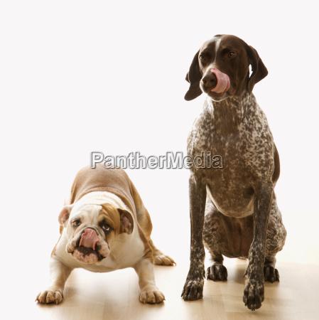 bulldog and pointer dog