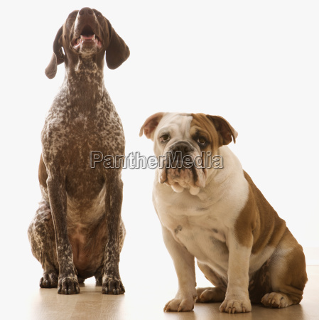 dwa psy siedza