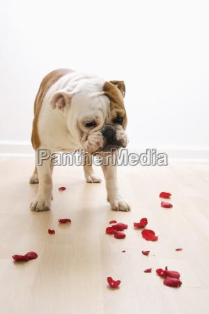 dog looking at petals