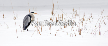 zima heron