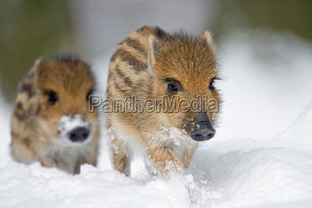 freshlings w sniegu