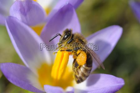 pszczola na krokusu
