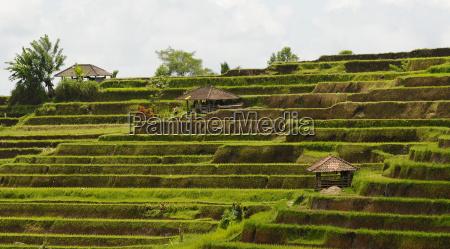 pola ryzowe bali indonezja