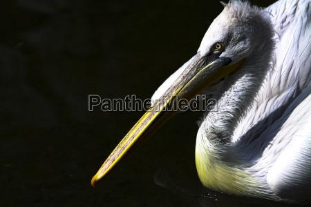 ptak ptaki dziob piora wioslowanie wodnych