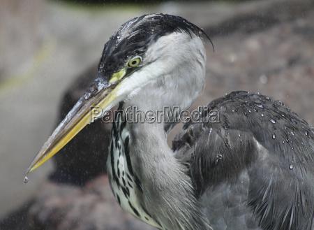 ptak ptaki pioro dziob czapla dzioby